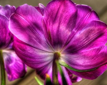 Tulip 4067