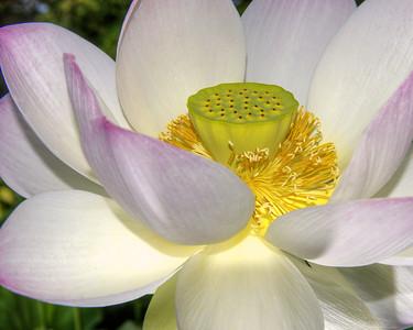 Lotus Glowing 9453